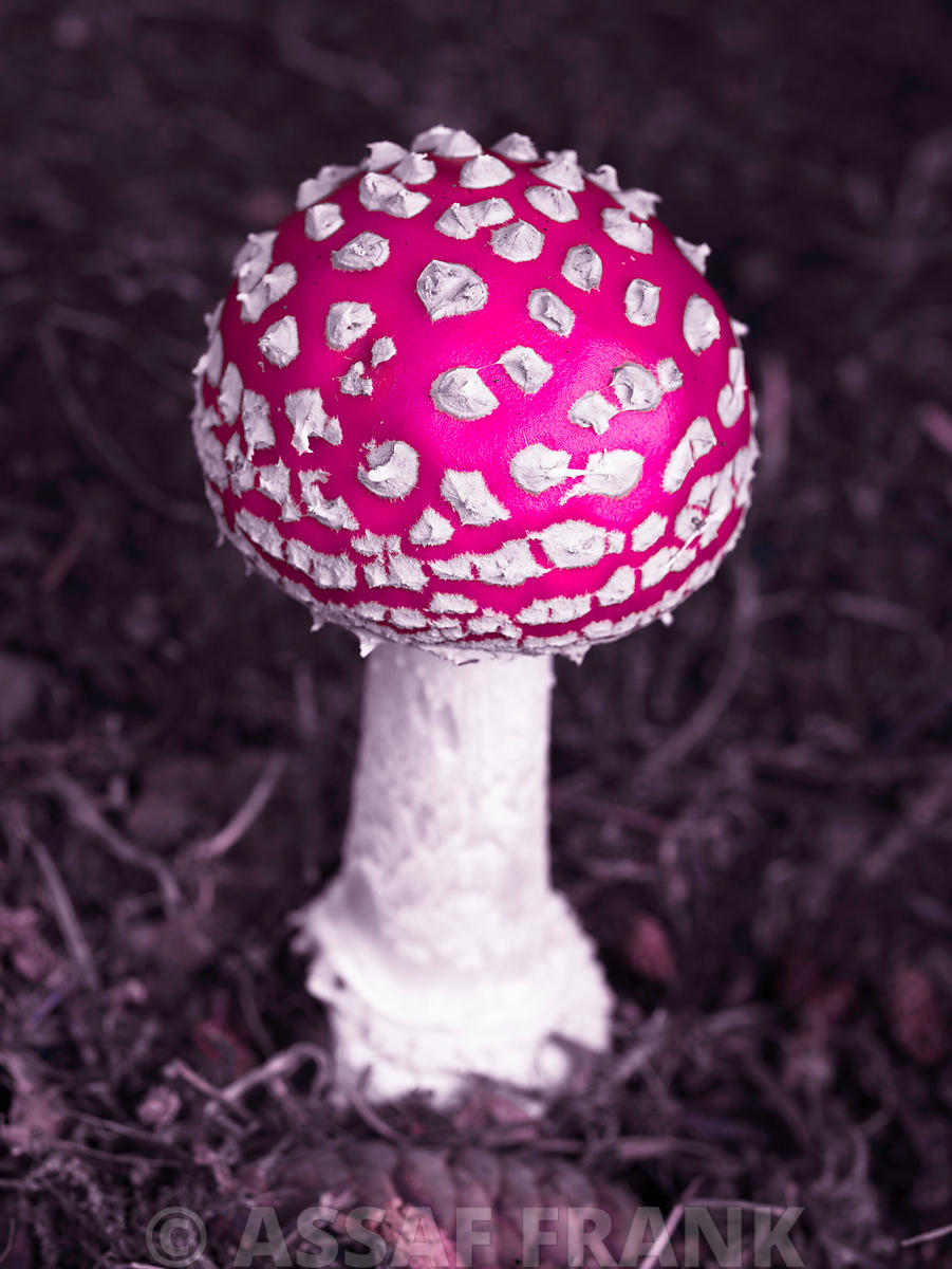 Fly Agaric mushroom close-up
