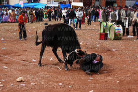A bull attacks an amateur matador during a bullfight in the main square at festival in Caquiaviri, Bolivia