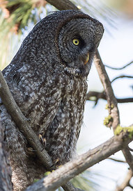 Great Gray Owl, Female
