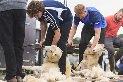 Sheep shearing competition