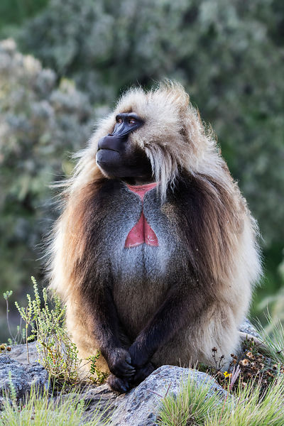 Portrait of a Male Gelada Baboon