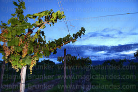 Vineyards in Concepción valley at twilight, Tarija Department, Bolivia