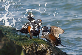 Harlequin Ducks Histrionicus histrionicus New Jersey USA winter
