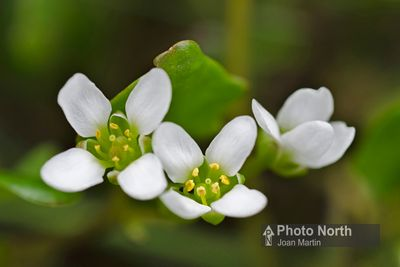 SCURVYGRASS - Common scurvygrass