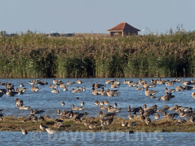 Pink-footed Goose Anser brachyrhynchus flock bathing at Cley Norfolk autumn