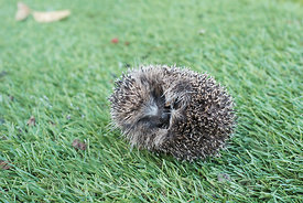 Young European Hedgehog Erinaceus europaeus curled up in protective ball in garden Norfolk