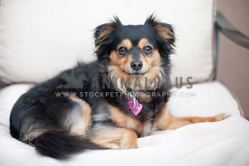 Long-Hair-Chihuahua-Dog-Sitting-Outdoor-Chair