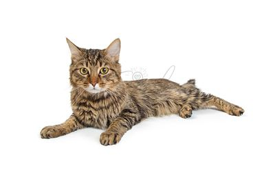 Young Tabby Cat Looking Forward - Isolated
