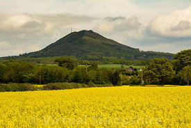 Rapeseed field and The Wrekin