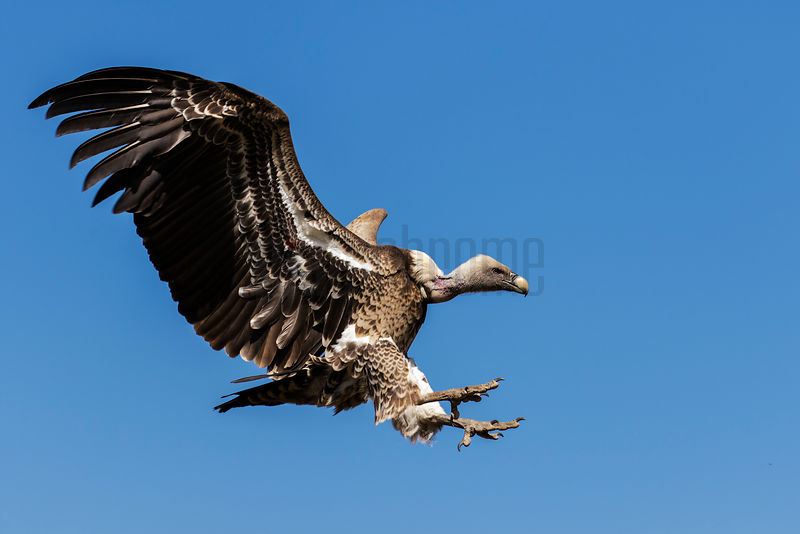 Griffon Vulture Coming into Land at Carrion