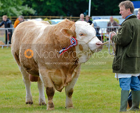 Cattle being shown by the handler, Rutland Show