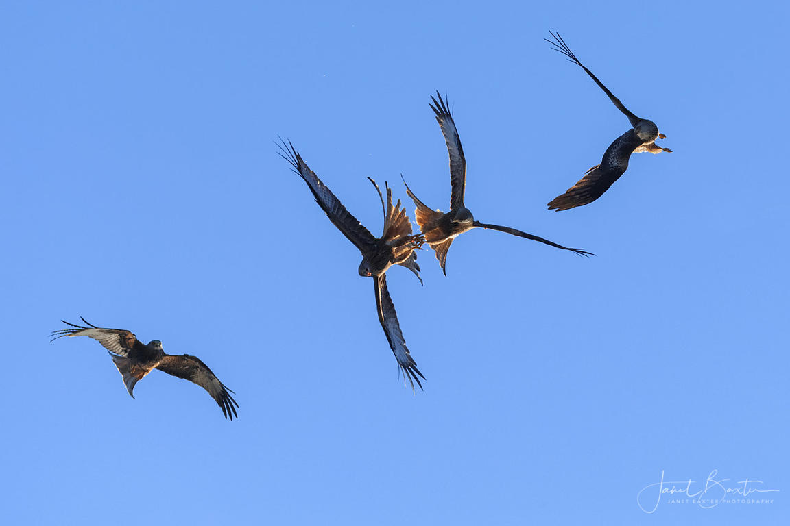 Red kites food passing