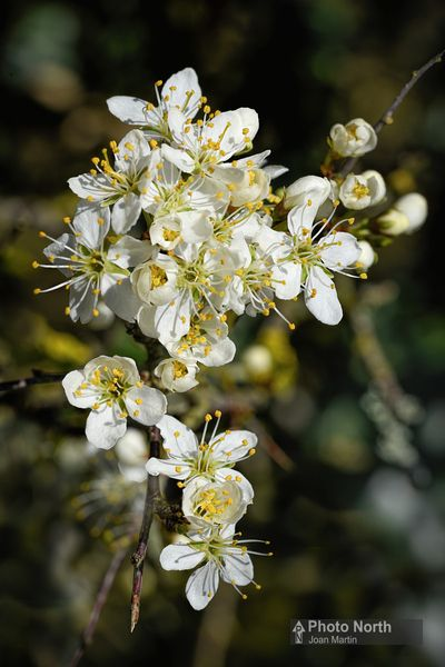 BLACKTHORN 01A - Blackthorn flowers