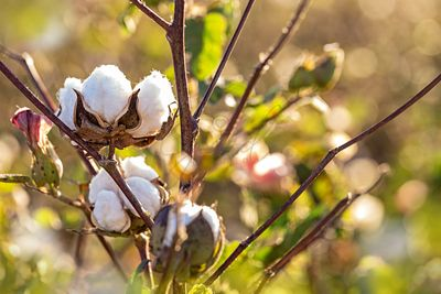 Cotton Plant With Flower Buds