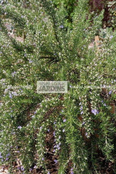 La phototh que les plus beaux jardins rosmarinus officinalis roman beauty romarin compact - Arbustes fleurs bleues feuillage persistant ...
