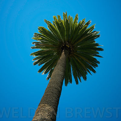 Palm_Trees_Feb08_0039