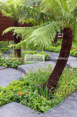 Jardin tropical : Dicksonia antarctica (fougËre arborescente), Soft Tree Fern, Man Fern, Feuillage semi-persistant. Paysagiste : Sim Flemons et John Warland (FlemonsWarlandDesign), CFS, Angleterre