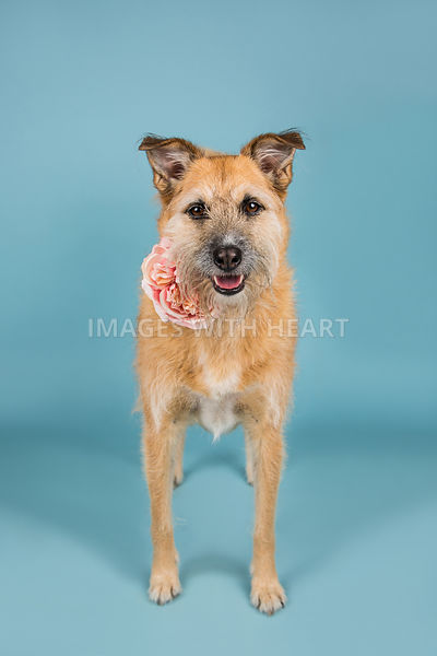 Large dog, full body, blue background