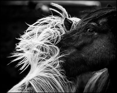 Black and white wild horses in Iceland 2015 © Laurent Baheux
