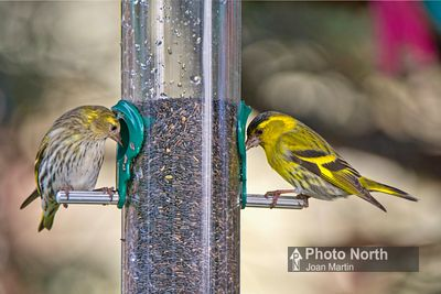 SISKIN 03A - Siskins on feeder