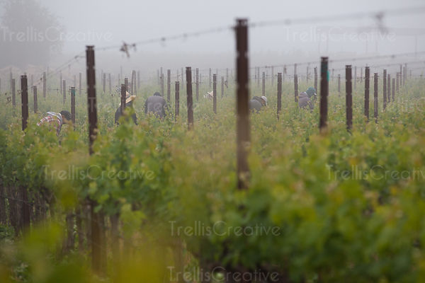 Farmers working in vineyard on a misty morning in Napa Valley