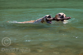 Couple of dogs (Canis lupus familiaris) playing with a wood stick in the Soča river
