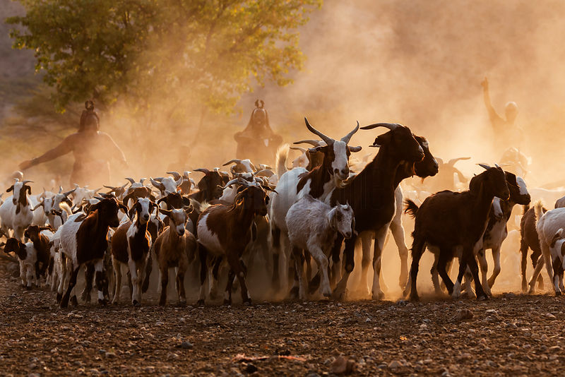 Himba People Herding their Goats