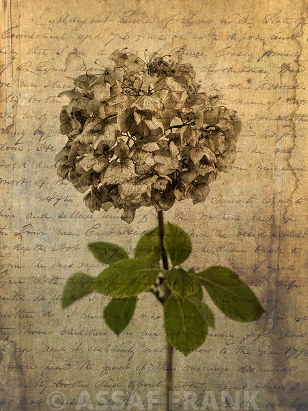 One dried Hydrangea flower