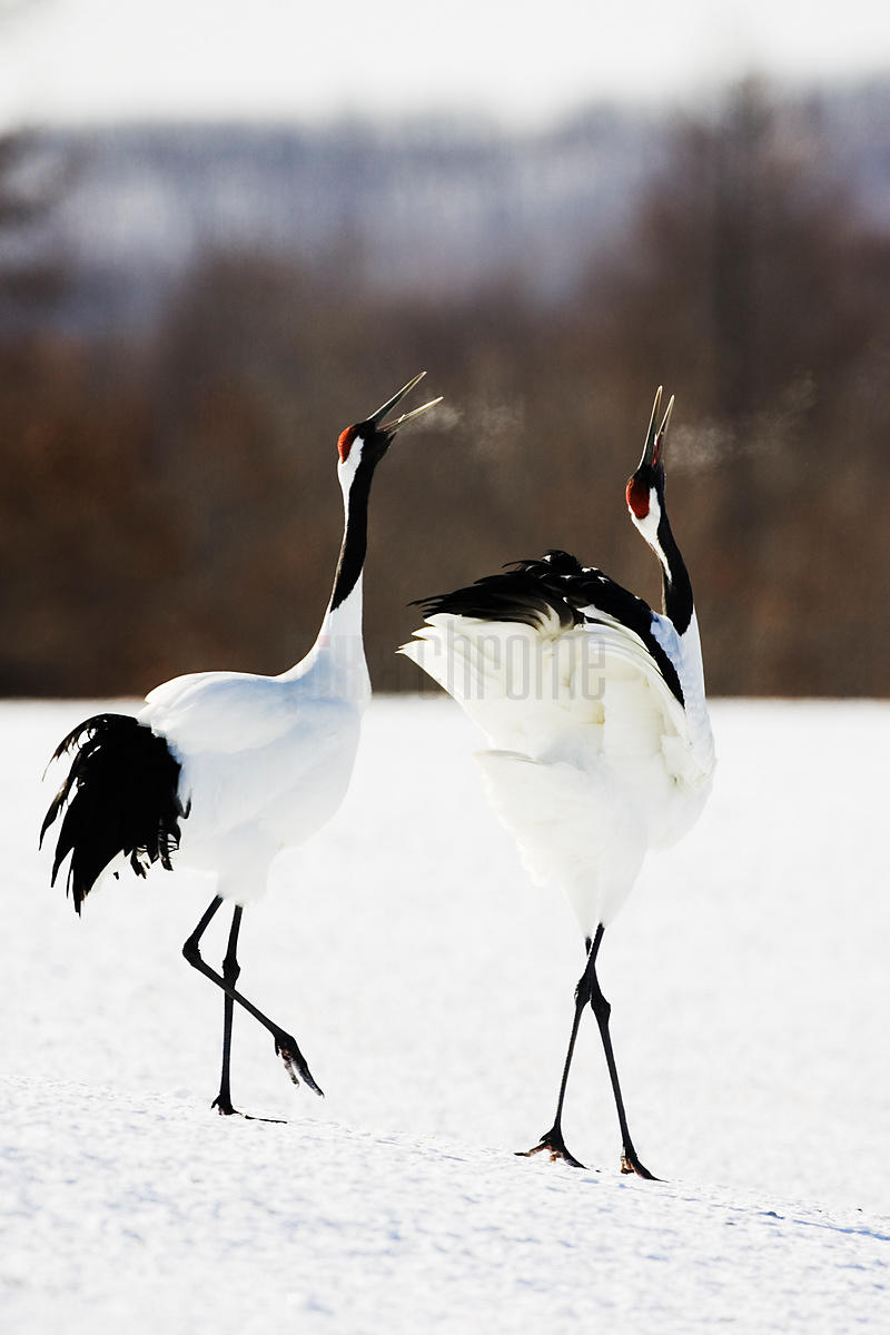 Two Japanese cranes (Grus japonensis) in courtship display, side view