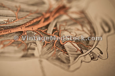 male,female,surgery,copyright 1899, heart, blood, vessels, aorta, veins