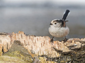 Long-tailed Tit Aegithalos caudatus at woodland pool North Norfolk February