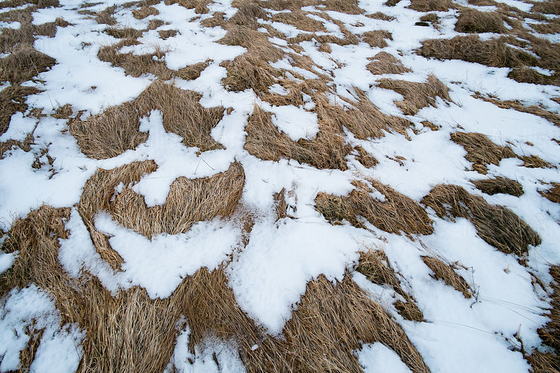 Brown dormant grass covered with snow in a field