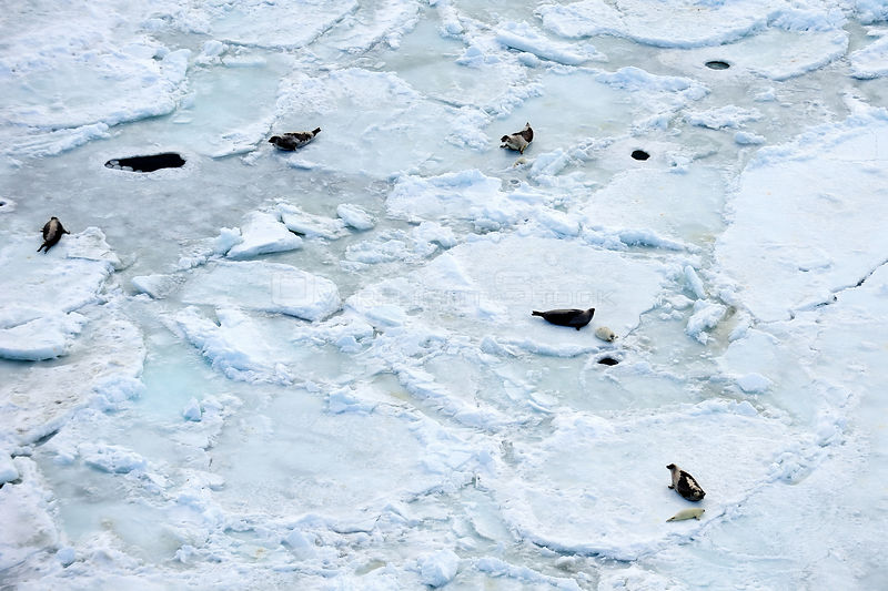 Aerial view of Harp seals (Phoca groenlandicus) hauled out on sea ice, Magdalen Islands, Gulf of St Lawrence, Quebec, Canada, March 2012