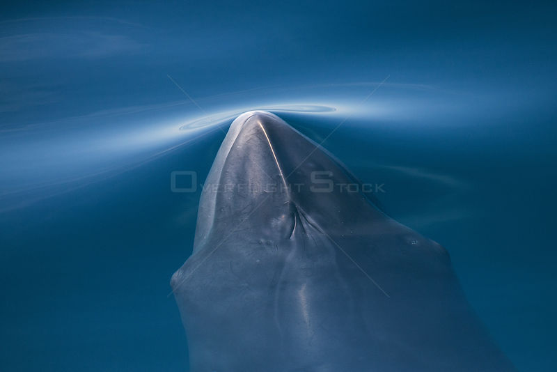 Common / Northern minke whale (Balaenoptera acutorostrata) surfacing, Pacific coast of Baja California, Mexico, February