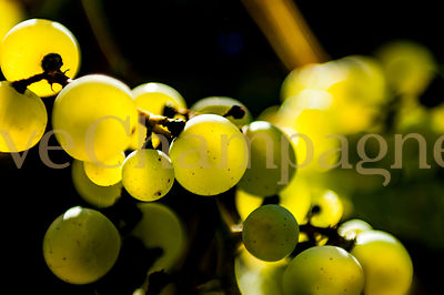 CHARDONNAY photos