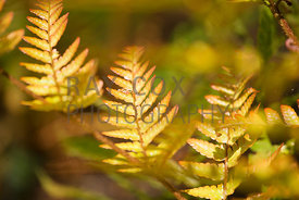 Golden-leafed fern