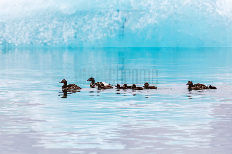 Family of Eider Ducks in Glacialr Lagoon