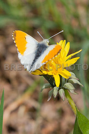 Orange-Tip Butterfly (Anthocharis Cardamines)