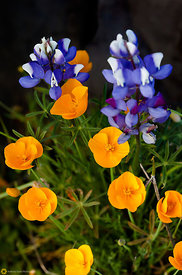 Lupines & Poppies #2