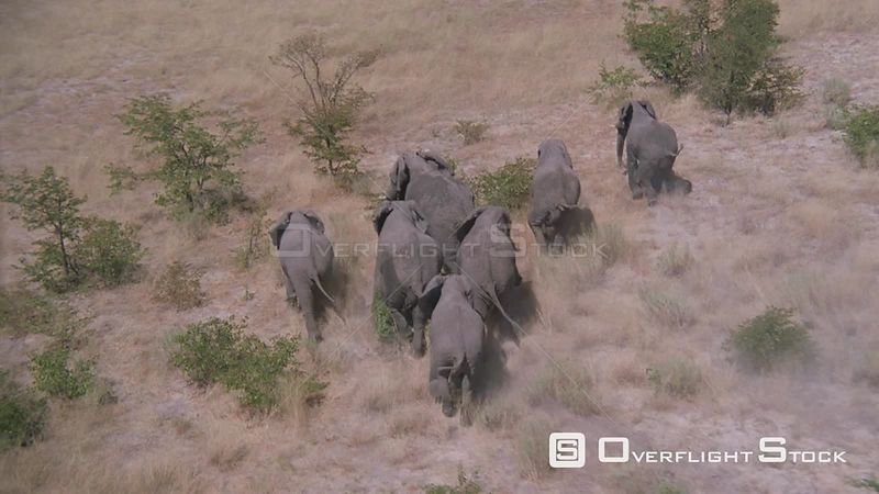 Aerial wide angle shot elephant herd running through bushveld of grass and trees Zimbabwe