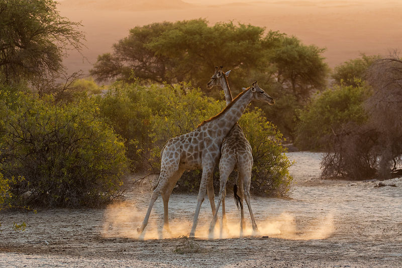 Giraffes Neck Fighting in a Dry Riverbed