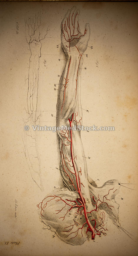 Nerve and Blood Supply of the Arm