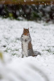 Grey squirrel searching in the snow