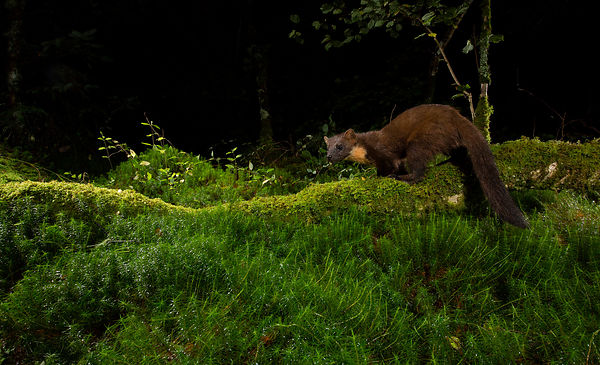 A perfect pose from the Pine Marten