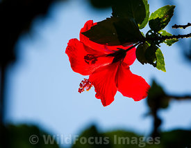 Hibiscus in morning light, Nahampona,  Madagascar; Landscape