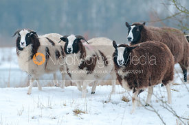 Jacob's sheep in the snow