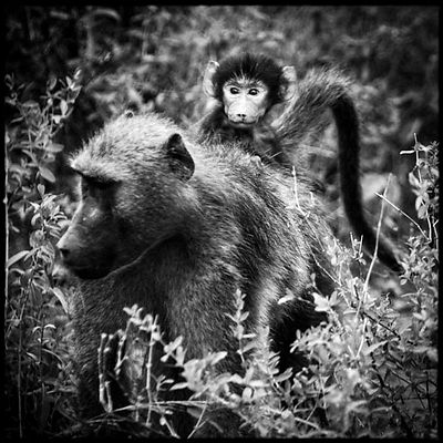 3249-Baby_baboon_on_the_mother_s_back_Botswana_2009_Laurent_Baheux