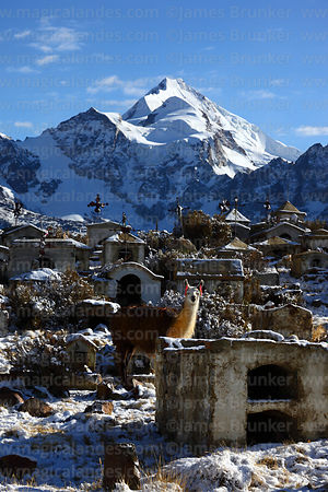 Llama (Lama glama) in Milluni cemetery after fresh snowfall and Mt Huayna Potosi, Cordillera Real, Bolivia