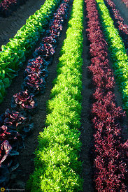 Rows of Mixed Greens in the Field #4