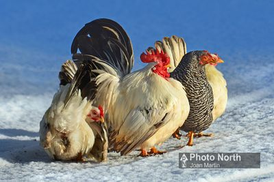 CHICKEN 60A - Chickens in the snow
